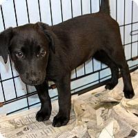 Adopt A Pet :: Cosette - Philadelphia, PA
