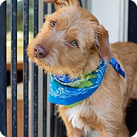 Adopt A Pet :: Scotch - Baton Rouge, LA
