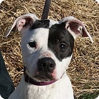 Greyhound/Boxer Mix Dog for adoption in Monroe, Michigan - Renee