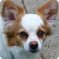 Adopt A Pet :: Cuddles/pending - Elkhart, IN