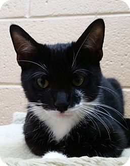 Domestic Shorthair Kitten for adoption in Chula Vista, California - Roland