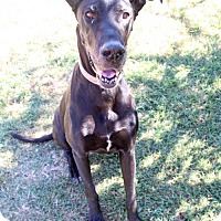 Great Dane Dog for adoption in Austin, Texas - Mona