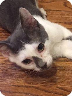 Domestic Shorthair Cat for adoption in Philadelphia, Pennsylvania - Swiffer