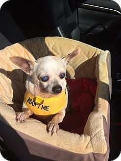 Chihuahua Mix Dog for adoption in Creston, California - Elmer Fudd