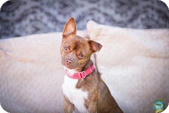 Chihuahua Mix Dog for adoption in Windsor, California - Ernie