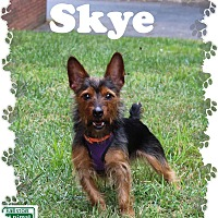 Yorkie, Yorkshire Terrier Mix Dog for adoption in Fallston, Maryland - Skye