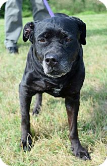 Labrador Retriever Mix Dog for adoption in Westampton, New Jersey - Star 32006155 *IN FOSTER*