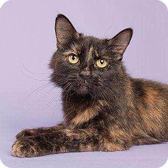 Domestic Longhair Cat for adoption in Wilmington, Delaware - Morgan