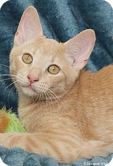 Domestic Shorthair Cat for adoption in St Louis, Missouri - Tango