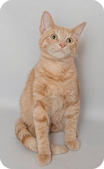 Domestic Shorthair Cat for adoption in Wyandotte, Michigan - Vic