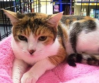 Domestic Shorthair Cat for adoption in Houston, Texas - Lady Gray