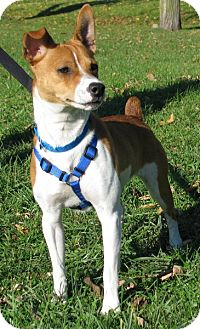 Jack Russell Terrier Mix Dog for adoption in New Kensington, Pennsylvania - Frito