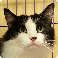 Maine Coon Cat for adoption in Lexington, Kentucky - Miley