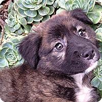 Adopt A Pet :: Corn Bread - Oakland, CA