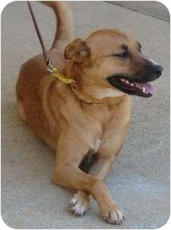 German Shepherd Dog/Labrador Retriever Mix Dog for adoption in Afton, Tennessee - Casey