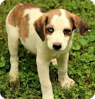 Dalton | Adopted Puppy | DG | Windham, NH | Siberian Husky ...