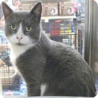Domestic Shorthair Cat for adoption in Miami, Florida - Dennis