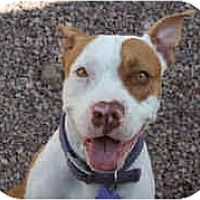 Adopt A Pet :: CHEVY - Gilbert, AZ