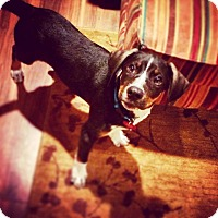 Adopt A Pet :: Forrest - Huntsville, AL