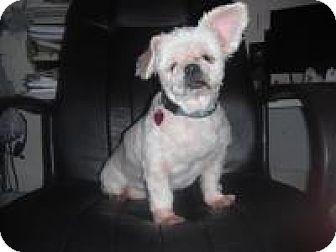 Maltese/Shih Tzu Mix Dog for adoption in Brunswick, Georgia - Blanche (FL)