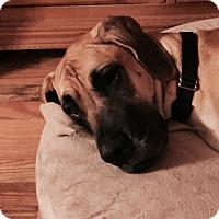 Adopt A Pet :: Zoey - O'Fallon, MO