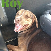 Labrador Retriever/Staffordshire Bull Terrier Mix Dog for adoption in Orangeburg, South Carolina - Roy