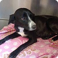 Adopt A Pet :: Sophia - Seneca, SC