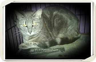 Domestic Shorthair Cat for adoption in Richmond, California - Susan