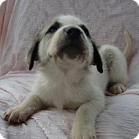 Adopt A Pet :: Adam - Huntsville, AL