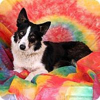 Adopt A Pet :: Misty Border Collie - St. Louis, MO