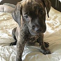 Adopt A Pet :: Enzo - Las Vegas, NV