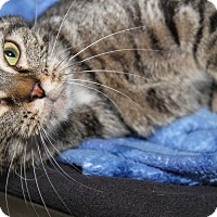 Domestic Shorthair Cat for adoption in Marietta, Ohio - Lily (Spayed & Combo Tested)