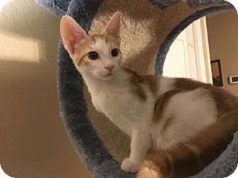 American Shorthair Kitten for adoption in Hammond, Louisiana - Tommie