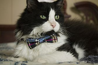 Domestic Longhair Cat for adoption in St. Louis, Missouri - Chowder