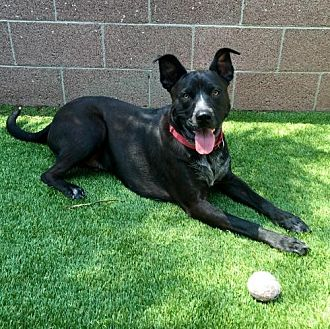 Shepherd (Unknown Type) Mix Dog for adoption in Anaheim, California - Chuck