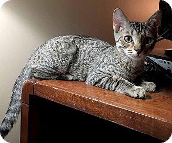 Domestic Shorthair Kitten for adoption in McCormick, South Carolina - Max