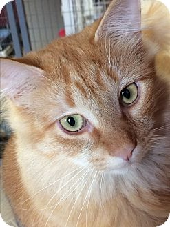 Domestic Shorthair Cat for adoption in Winchendon, Massachusetts - Peaches & Cream