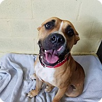 Boxer/American Staffordshire Terrier Mix Dog for adoption in Long Beach, New York - Jade