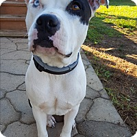American Bulldog Mix Dog for adoption in Clarksville, Tennessee - Velma