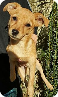 Chihuahua Mix Puppy for adoption in Allentown, New Jersey - Tink (URGENT)