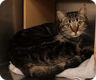 Domestic Shorthair Cat for adoption in Sacramento, California - Han Solo