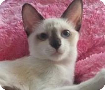 Siamese Kitten for adoption in Mesa, Arizona - Kahana