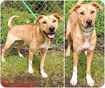 Labrador Retriever/Hound (Unknown Type) Mix Dog for adoption in Kailua-Kona, Hawaii - Goldie