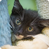 Domestic Shorthair Kitten for adoption in Los Angeles, California - Harlem