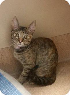 Domestic Shorthair Kitten for adoption in Cumming, Georgia - Georgia