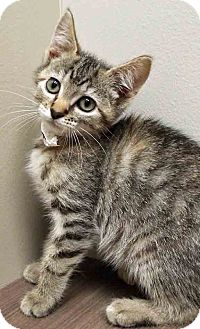 Domestic Shorthair Kitten for adoption in Shorewood, Illinois - ADOPTED!!!   Bitsy