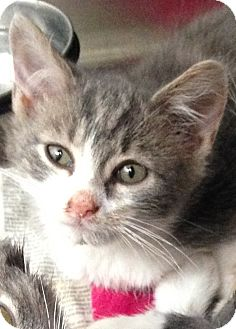 Domestic Shorthair Kitten for adoption in Covington, Kentucky - Creek
