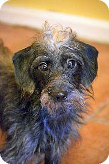 Dachshund/Poodle (Miniature) Mix Dog for adoption in Staunton, Virginia - Copper