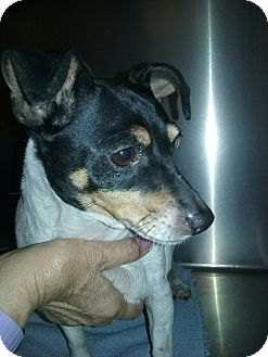 Rat Terrier Mix Dog for adoption in Olivet, Michigan - Lucy