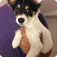 Papillon/Australian Shepherd Mix Puppy for adoption in Fort Collins, Colorado - Mr. Fox (DENVER)
